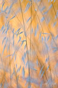 Golden Grains, Mount Diablo State Park, California, wild oats