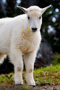 Young Mountain Goat, Olympic National Park, Washington, mountain goatling