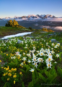 Mount Olympus and Flowers from the Bailey Range, Olympic National Park, Washington, avalanche lilies, alpine meadow