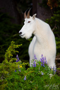 Mountain Goat, Olympic National Park, Washington, bill the billy goat
