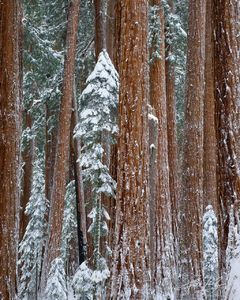 Winter Snow Giant Sequoias, Sequoia National Park, California, grove