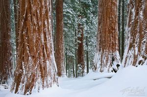 Snowy Winter Sequoia Grove, Kings Canyon National Park, California, winter wonder woods