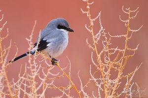 Loggerhead Shrike (Lanius ludovicianus), Owens Valley, California, owens river,