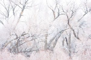 Cottonwoods in Snow, Owens Valley, California, cotton dreams, Bishop