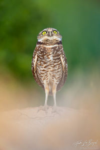 Silly Burrowing Owl Antics (Athene cunicularia), Salton Sea, California,