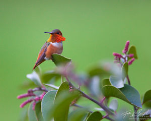Rufous Hummingbird Selasphorus rufus, Arroyo Parkway, California