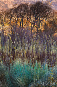 Rabbitbrush Cottonwoods and Willows, Owens Valley, California, desert colors