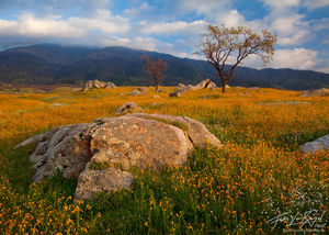 California Spring Flowers, Tehachapi, California, california gold, central valley, arvin