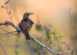 California Thrasher Toxostoma redivivum, Eaton Canyon, California,