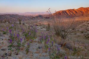 Desert Spring Wildflower Bloom, Anza-Borrego State Park, California, arid blooms, lupine, ocotillo, carrizo badlands