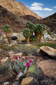 Desert Oasis of Palm Trees and Cacti, Anza-Borrego State Park, California, desert paradise, beavertail, cactus