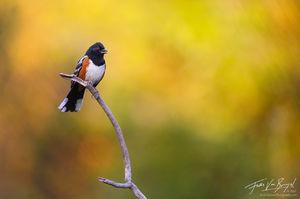 Spotted Towhee Pipilo maculatus, Eaton Canyon, California, summer