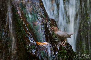 American Dipper (Cinclus mexicanus), San Gabriel Mountains, California, nesting, waterfall, stream