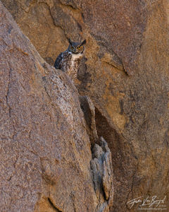 Great-horned Owl Bubo virginianus, Alabama Hills, California, desert, eastern sierra