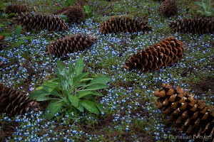 Magic Carpet of Spring Flowers and Pine Cones, Sequoia National Park, California,