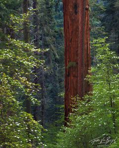 Spring Dogwoods and Sequoia, Sequoia National Park, California, flowers for giants, giant sequoia,