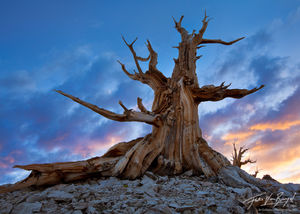 Ancient Bristlecone Pine at Sunset, White Mountains, California, guardian angel