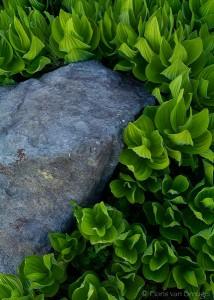 Spring Corn Lilies, Minaret Lake, California, green with zen, ansel adams wilderness