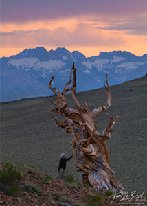 Hiker and Ancient Bristlecone Pine, White Mountains, California, awe and respect, sierra