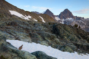 White-tailed Ptarmigan and Mount Ritter and Banner Peak, Sierra Nevada, California, Lagopus leucurus, ansel adams wilder