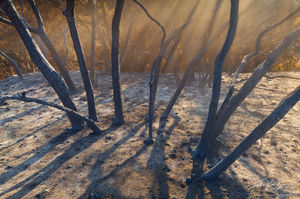 Ash and Burned Trees, San Gabriel Mountains, California, choking on ash, fire, station fire, los angeles