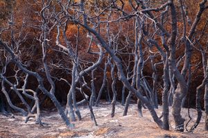 Wildfire Burned Trees, San Gabriel Mountains, California, there be witches, station fire, los angeles,