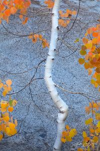 Fall Color Aspen, Eastern Sierra, California, autumn dancer