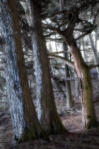 Haunted Cypress Forest, Point Lobos, California, buck, monterrey