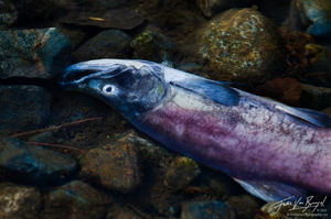 Kokanee Salmon Spawning, Taylor Creek Lake Tahoe, California, life giving death