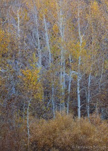 Bishop Creek Fall Aspen Color, Eastern Sierra, California, golden chaos