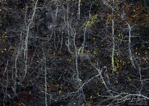 Tortured Aspen, Eastern Sierra, California, writhing, aspens, bishop creek, SAD, sudden aspen decline, climate change,