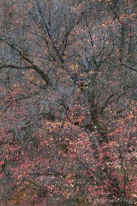 Fall Maples, Zion National Park, Utah, confetti, delicate