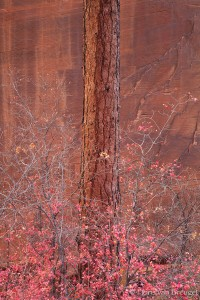 Red Ponderosa and Maples, Zion National Park, Utah, red, fall, sandstone