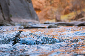 American Dipper in the Virgin River Narrows, Zion National Park, Utah, dipping in the narrows, Cinclus mexicanus