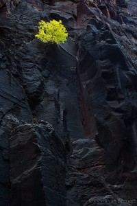 Fall Color Maple on Virgin Narrows Wall, Zion National Park, Utah, colors on charcoal