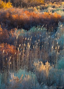 Owens Valley Fall Foliage, Eastern Sierra, California, dancing in the sun, backlight, turquoise, rabbitbrush