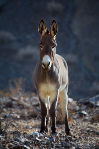 Wild Burros in Panamint Valley, Death Valley National Park, California, wild asses, ass