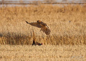 Northern Harrier Attacking Pheasant, Klamath National Wildlife Refuge, California, Circus cyaneus, Phasianus colchicus,