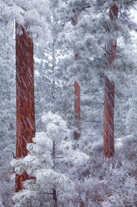 Ponderosa Pines in Snowstorm, Deschutes National Forest, Oregon, snowfall, frost, sisters