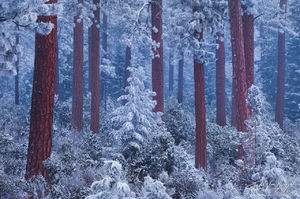 Ponderosa Pines in Winter Snowstorm, Deschutes National Forest, Oregon, silent night, winter wonderland, sisters