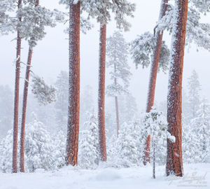 Ponderosa's in Snow, Deschutes National Forest, Oregon, snow dancers, sisters