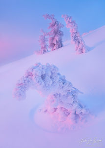 Snow and Rime Ice Trees, Drake Peak in Warner Range, Oregon, silently suffering, frozen, peaceful, pristine