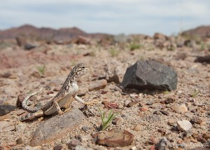 Zebra-tailed Lizard, Death Valley National Park, California, desert dweller