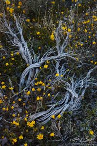 Goldfields in Spring, Death Valley National Park, California, spring transformation, sage, golden valley