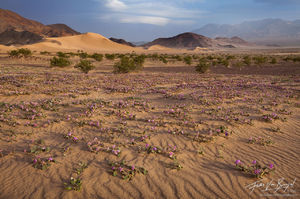 Dunes in Spring, Death Valley National Park, California, sandy blooms, sand verbena, Abronia villosa, desert, el nino