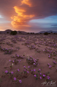 Sand Verbena in Spring, Death Valley National Park, California, storm flowers, Abronia villosa, lenticular cloud