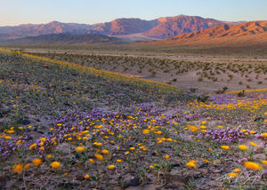 Spring Desert Flowers, Death Valley National Park, California, spring desert dance, sand verbena, Abronia villosa, deser