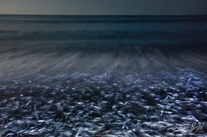 Grunion Run Spawning, Doheny State Beach, California, fish