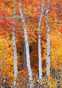 Red Fall Aspen, Bishop, California, aspen in flames, eastern sierra