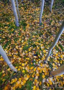 Fall Aspen, Bishop, California, magic carpet, grassy
